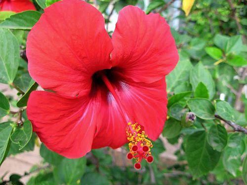 Uses Of Hibiscus In Ayurveda Ayurveda Bansko