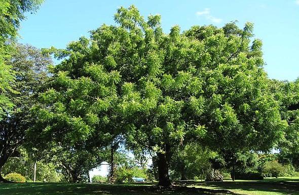 Herbs from Nimba in Ayurveda
