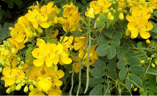 Какво представлява Cassia angustifolia (Сенна) и каква роля има в Аюрведа?